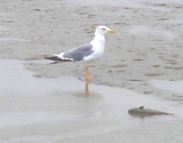 "Adult Heuglin's Gull (""taimyrensis"" form), seen from Highway 17 on the estuary at approximately Km 120."
