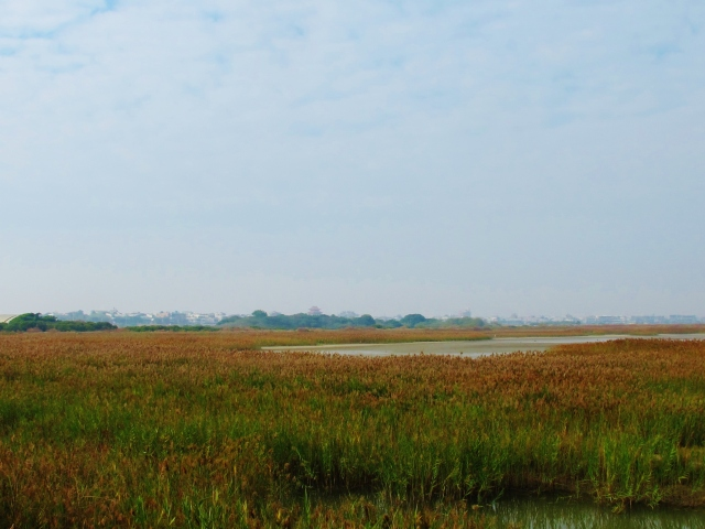 Great Bittern habitat: extensive reedbeds at Cheting.