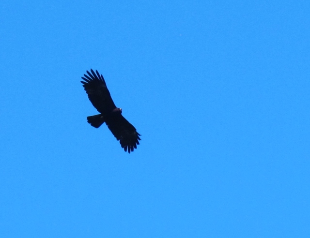 Black Eagle, Tengjhih National Forest, January 4th - one of four seen today.