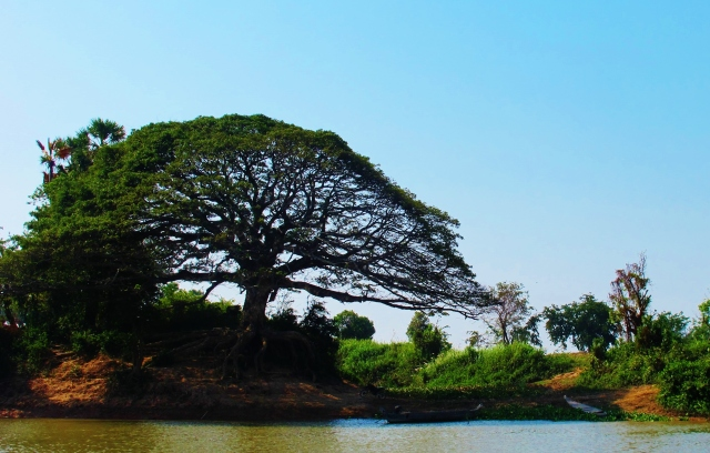 Wonderful old tree beside the river bank, en route to Siem Reap.