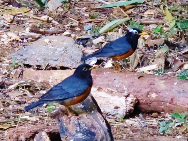 Two male Black-breasted Thrushes, Doi Angkhang Royal Project, February 19th (one bird is partially albinistic).