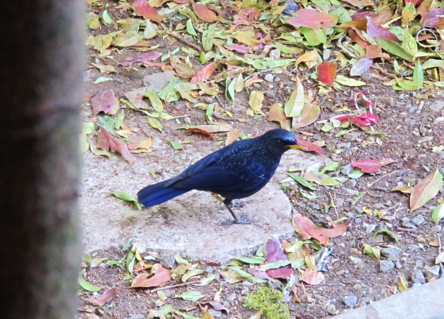 Blue Whistling Thrush at Doi Inthanon summit. This is the yellow-billed race, a common winter visitor to the area.