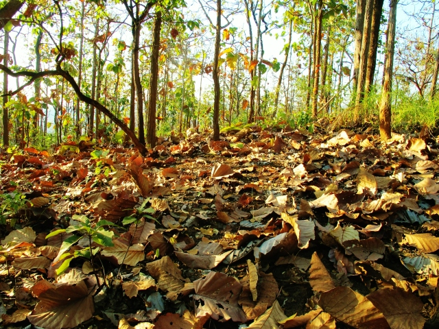 A thick carpet of fallen leaves at the deciduous forest at Km 13. This site gets very hot from about 9am onwards and is best visited in the very early morning.