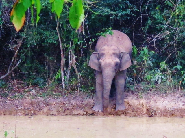 It's not strictly speaking a bird, but even the most single-minded of birders would feel a sense of awe at the sight of a wild Asian Elephant. Kaeng Krachan is one of the best places in Thailand to encounter one, although even here sightings are far from guaranteed.
