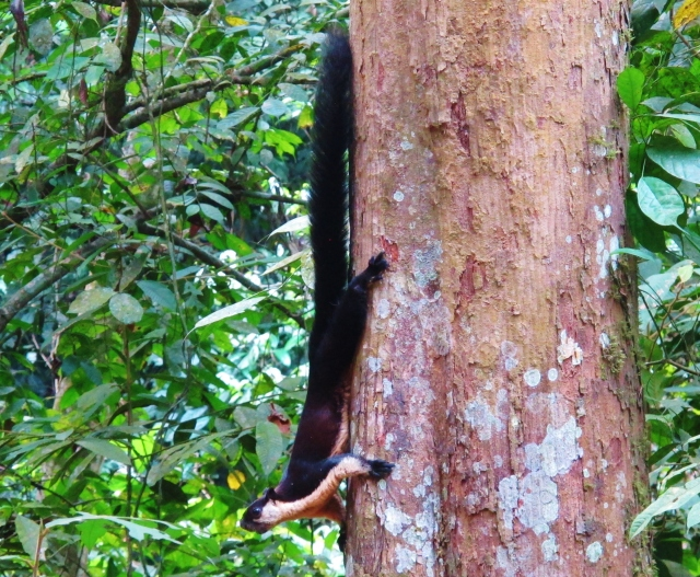 An enormous Black Giant Squirrel. This one was along the track between streams 2 and 3.