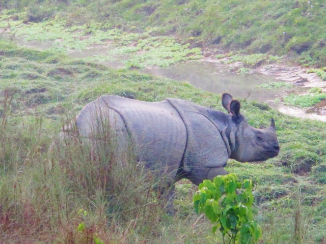 Indian Rhinoceros - this individual, an adult male, emerged from the national park every evening to bathe in the river at the edge of Sauraha village.