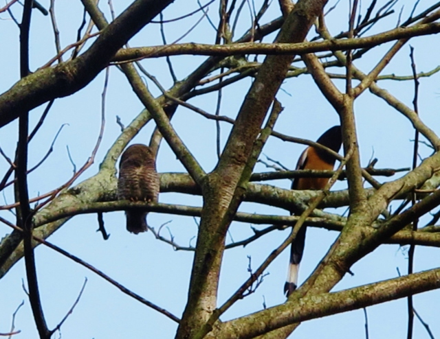 Jungle Owlet and Rufous Treepie - these two were certainly not the  best of friends!