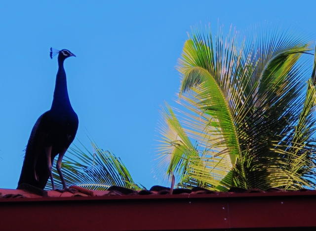 Indian Peafowl on the roof of our Unawatuna hotel.