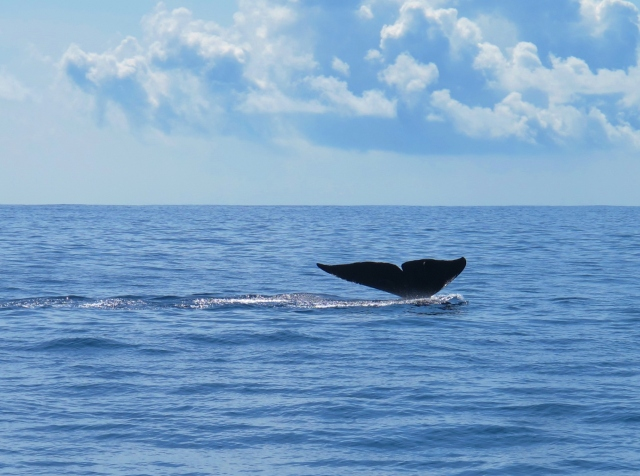 Blue Whale at sea off Mirissa, Sri Lanka, April 12th.