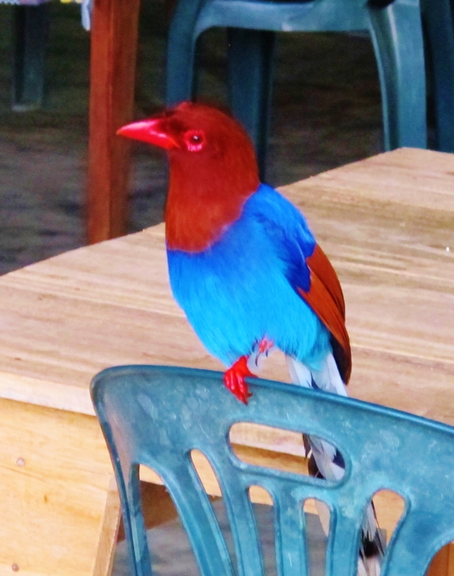 The very first bird of the morning at Sinharaja was .... the spectacular endemic Sri Lanka Blue Magpie, actually inside the restaurant at Martin's Simple Lodge.