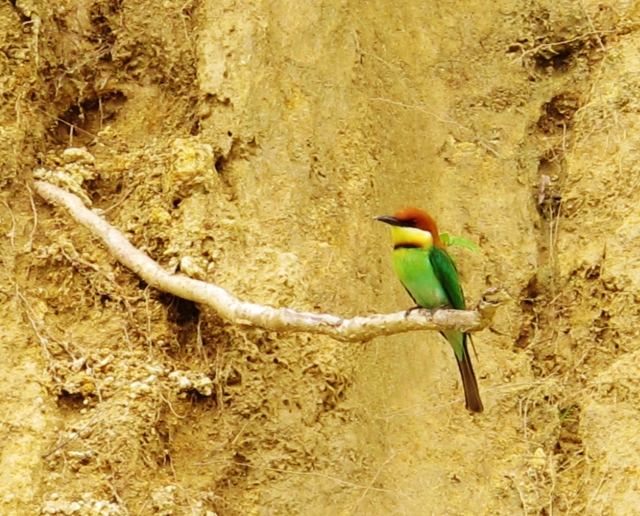 Chestnut-headed Bee-eater near its nest site along the Ella railway line.