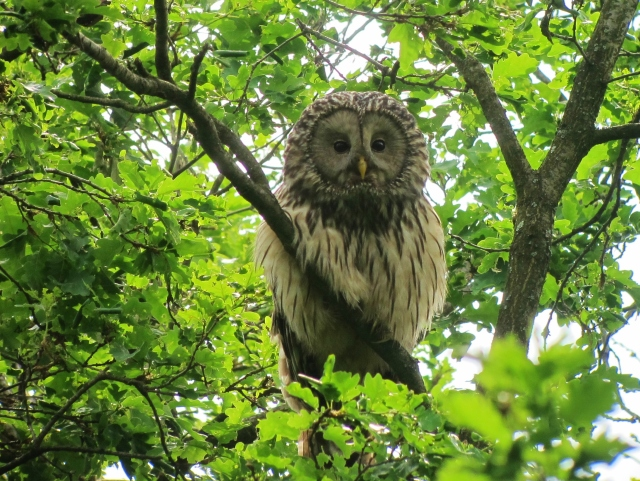 Ural Owl, Zemplen Hills, Hungary, May 15th.