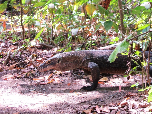 Komodo Dragon emerging from the bushes on Rinca Island.