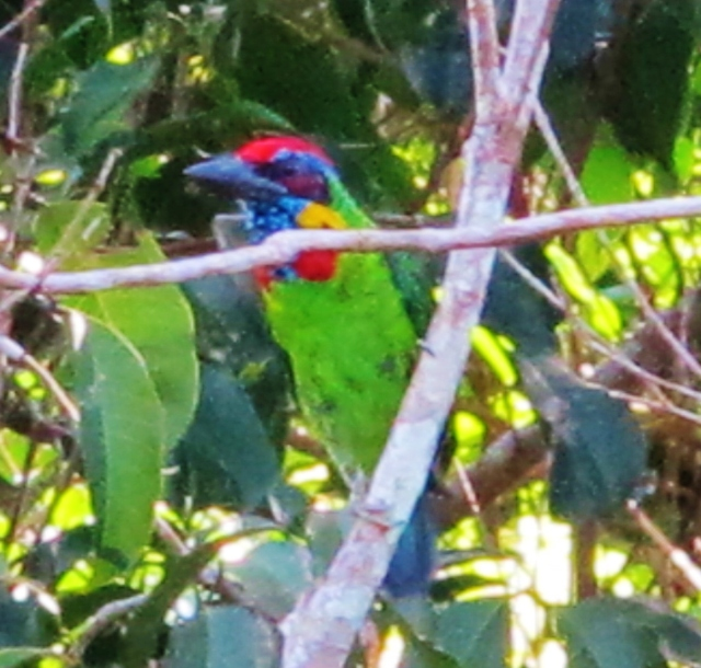 Red-crowned Barbet, Trang Botanical Gardens, July 22nd.