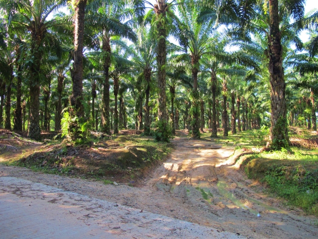 Oil palms, an ever-increasing sight at Khao Nor Chu Chi. Now that Gurney's Pitta has been extirpated from the site, the future for the remaining lowland tropical rainforest here looks bleak.
