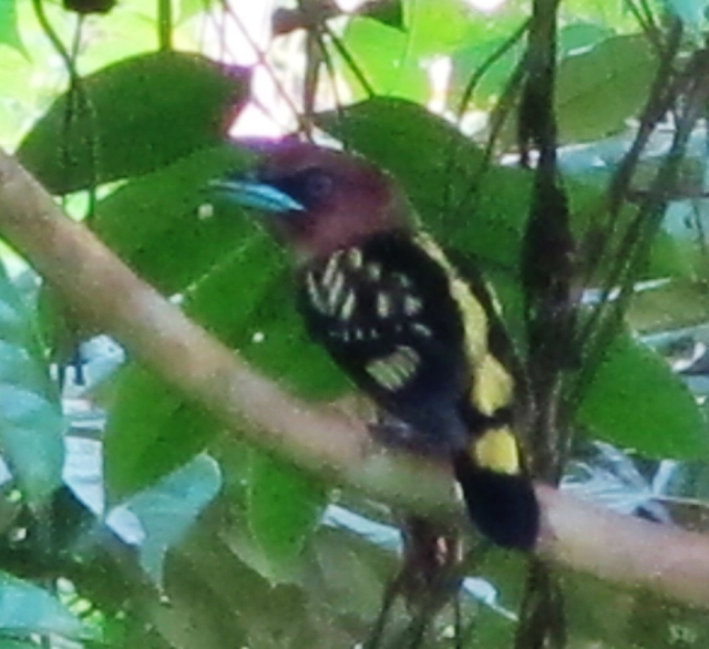Banded Broadbill - the only one I saw during the trip, whereas Black-and-yellow, Dusky, and Green Broadbills were all seen virtually daily.