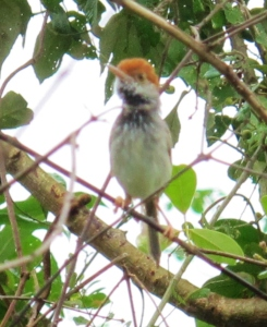 Cambodian Tailorbird, record shot with my Canon G12 in poor light and rain, September 16th 2015.