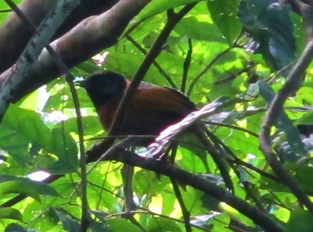Record shot of Collared Laughingthrush at Lang Bian mountain,.