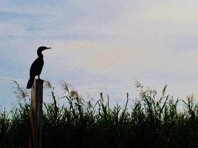 Neotropic Cormorant, Anahuac Wildlife Refuge, October 23rd.