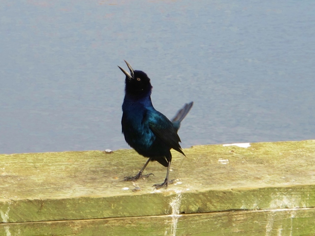 Boat-tailed Grackle in display mode.