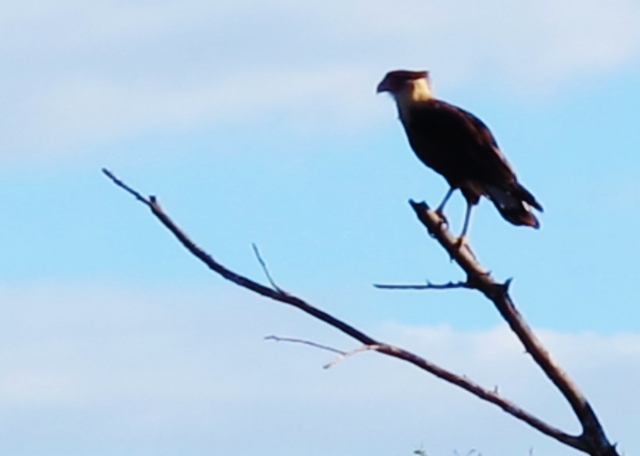 Crested Caracara, Mitchell Lake, November 8th.