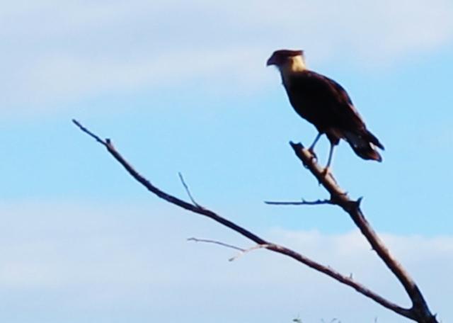 Crested Caracara, Mitchell Lake, November 8th.