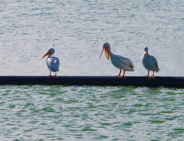 American White Pelicans, Mitchell Lake, November 8th.