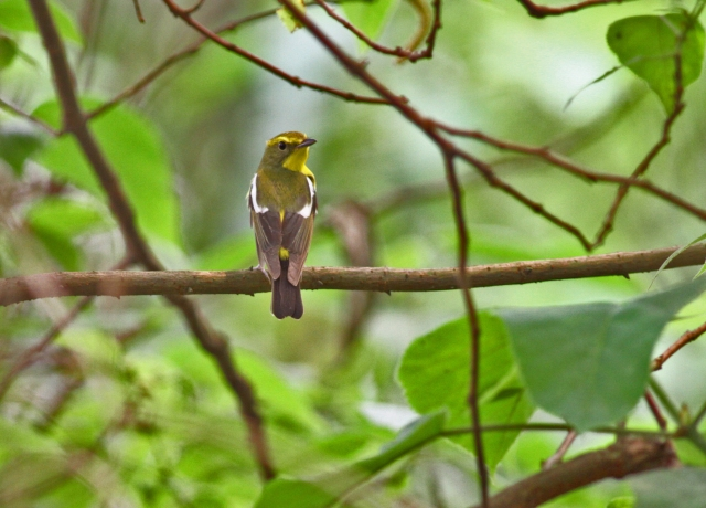 Green-backed_Flycatcher_Adult_male_RR_13_4_16_2[2]