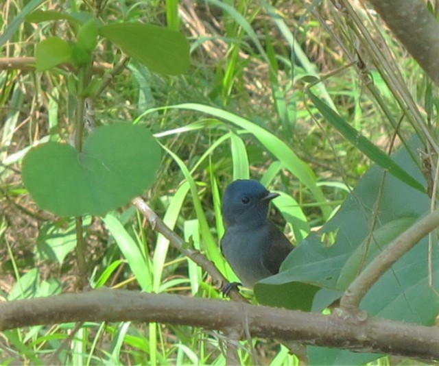 black-naped-monarch1