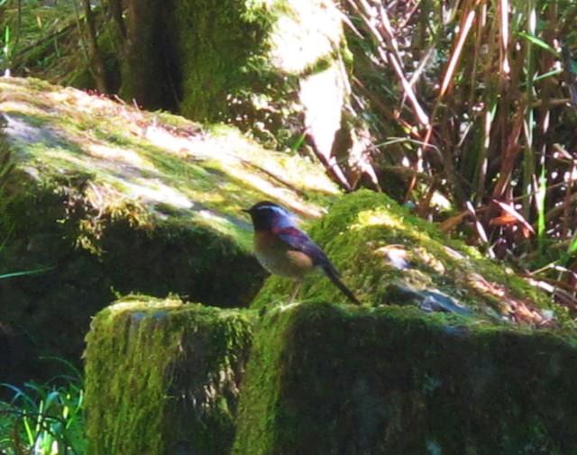 collared-bush-robin-yushan