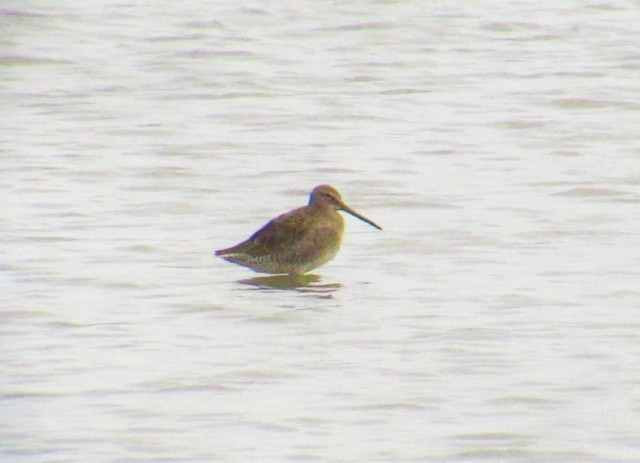long-billed-dowitcher2