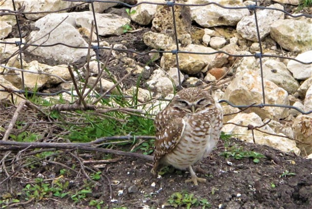 burrowing-owl2