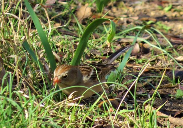 field-sparrow2