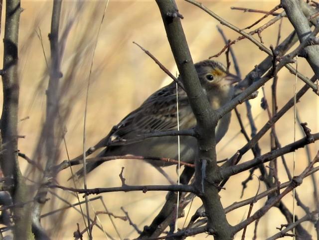 grasshopper-sparrow1