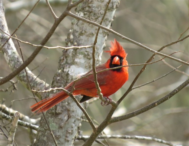 northern-cardinal1