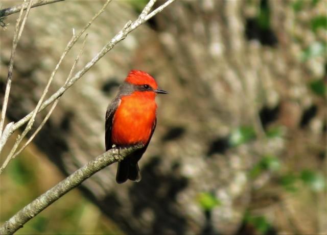 vermilion-flycatcher