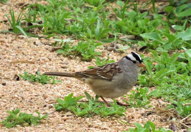 white-crowned-sparrow1