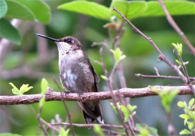 Black-chinned Hummingbird2
