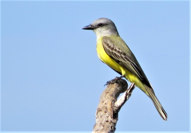 Couchs Kingbird