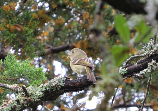 Huttons Vireo1
