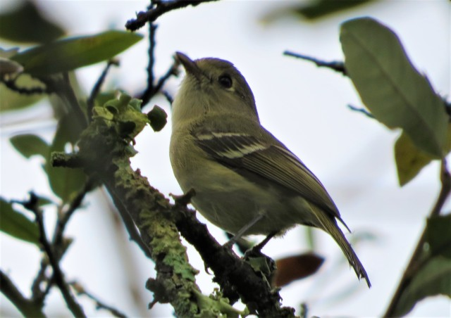 Huttons Vireo2