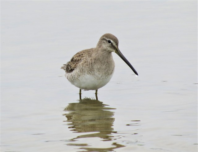 Long-billed Dowitcher2