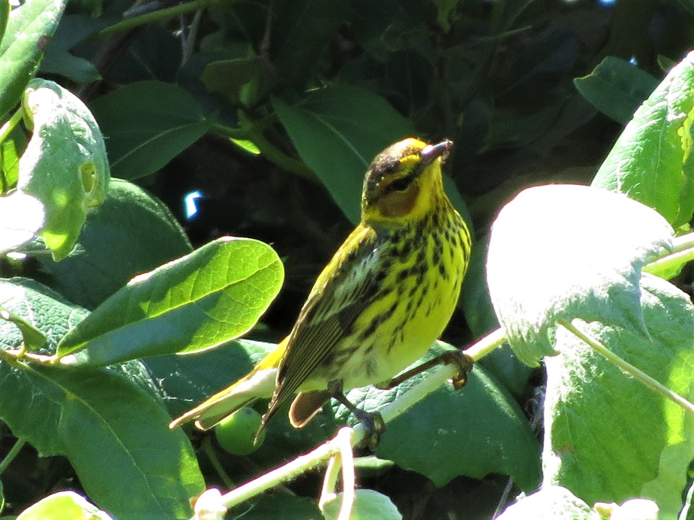Cape May Warbler2