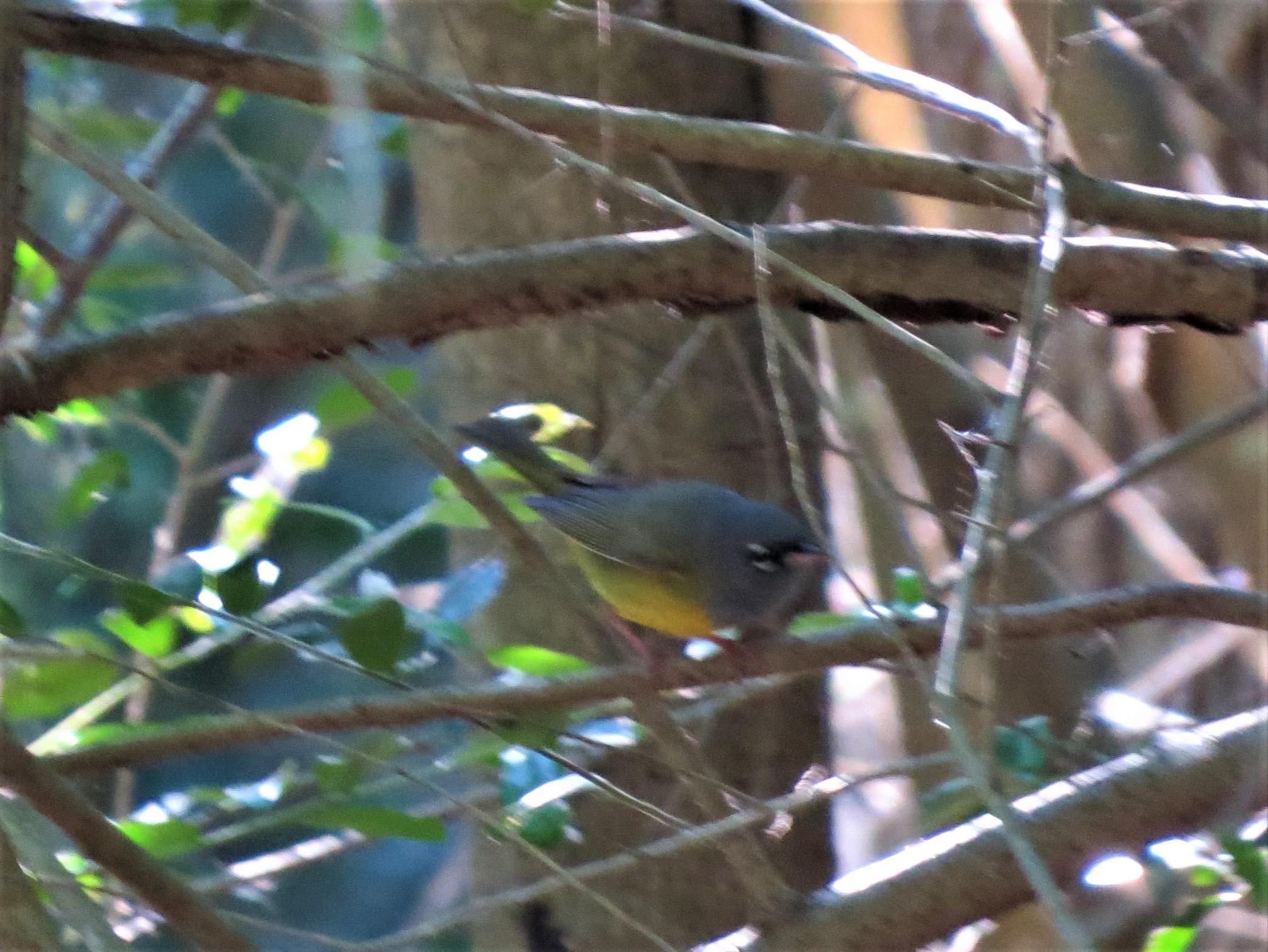 McGillivray's Warbler