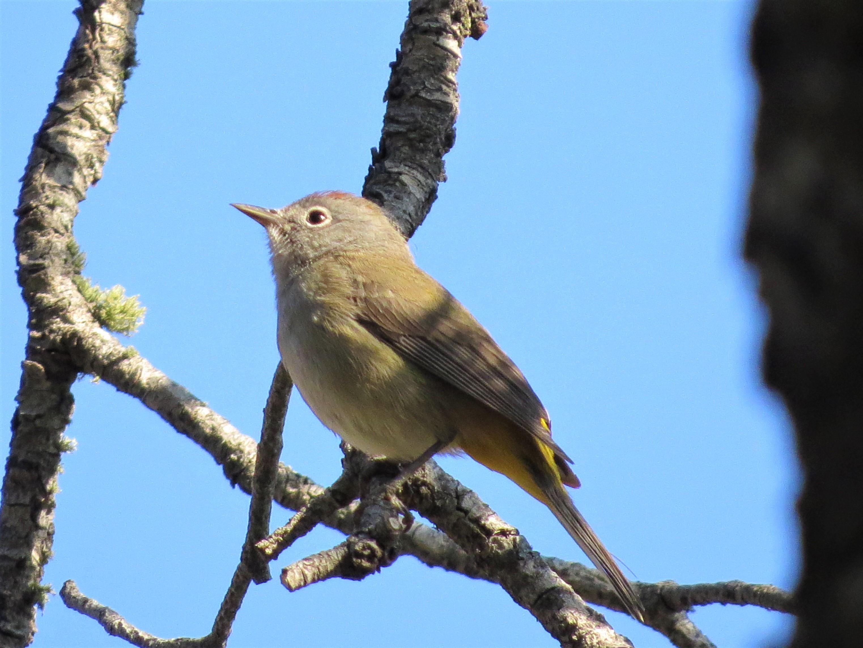 Colima Warbler2