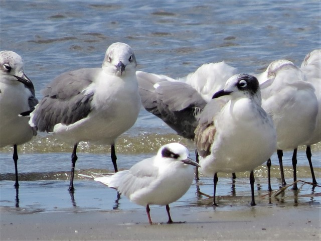 Franklins Gull1