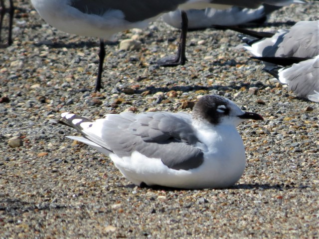 Franklins Gull3