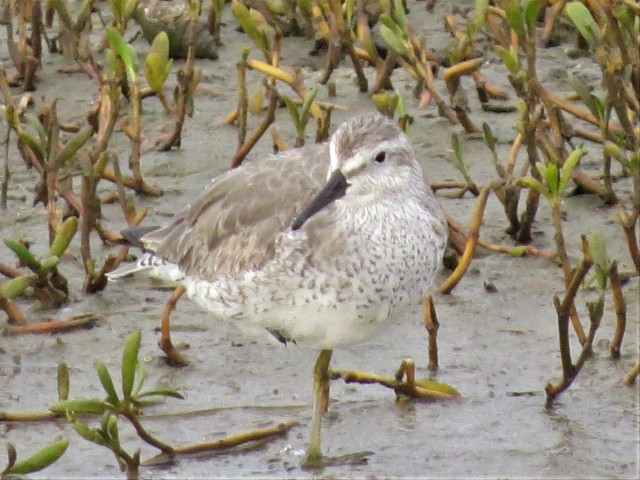 Red Knot2