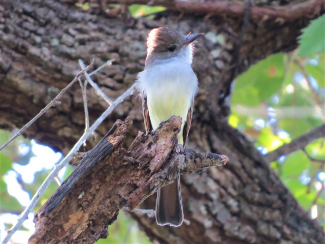 Ash-throated Flycatcher2