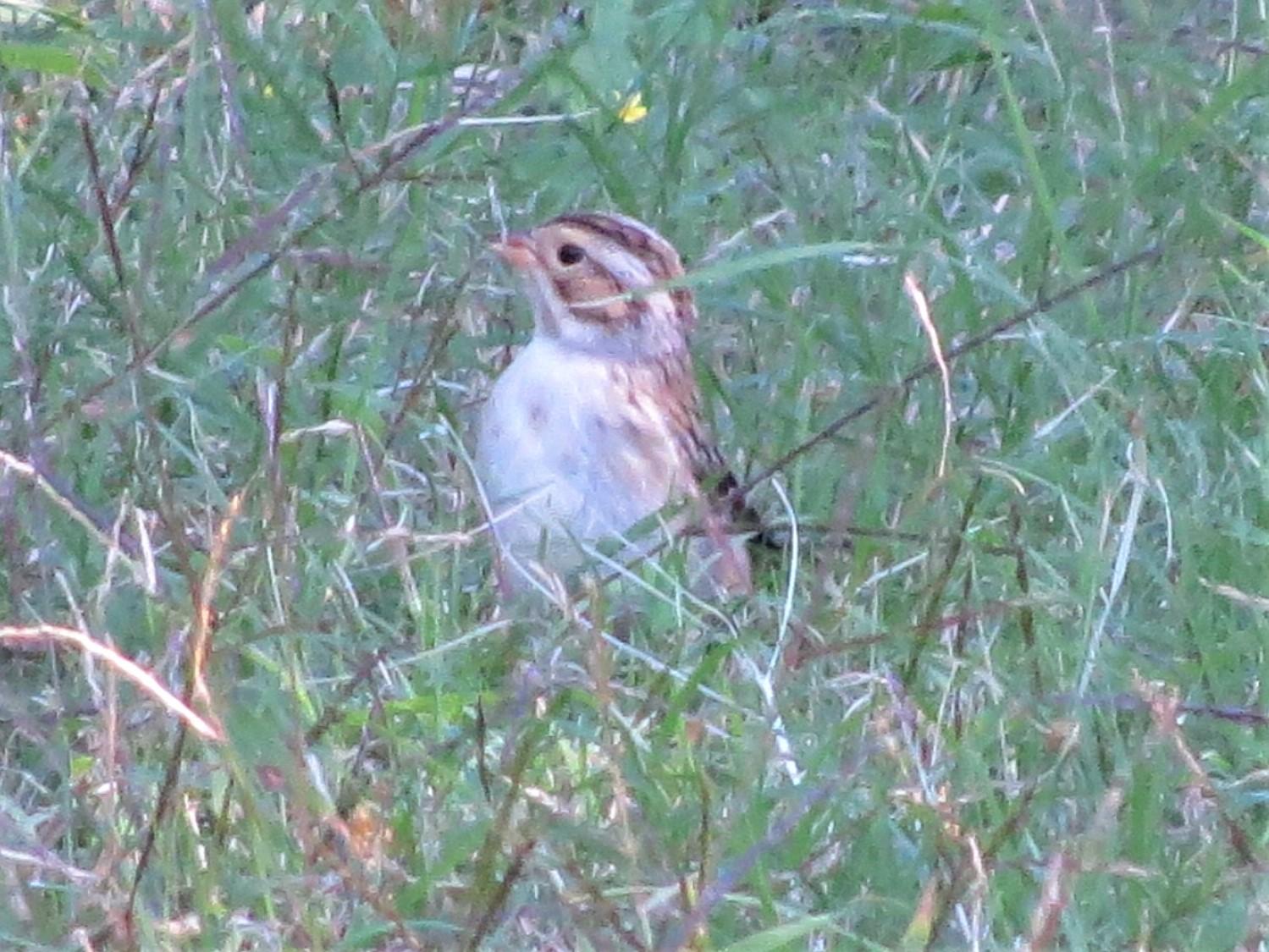 Clay-colored Sparrow5